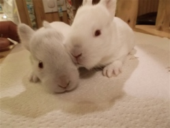 new zealand rabbit kits