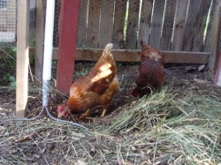 chickens eating compost