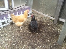using chickens to turn compost
