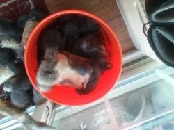 tanning rabbit fur